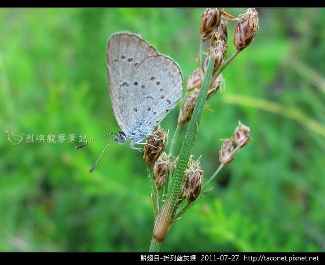 鱗翅目-折列藍灰蝶_06.jpg