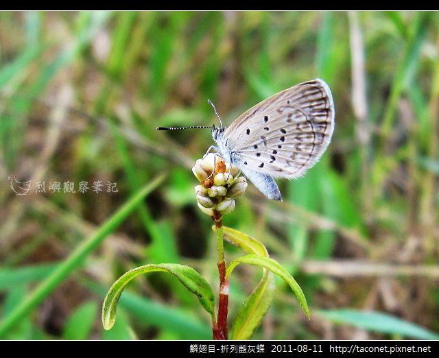 鱗翅目-折列藍灰蝶_08.jpg