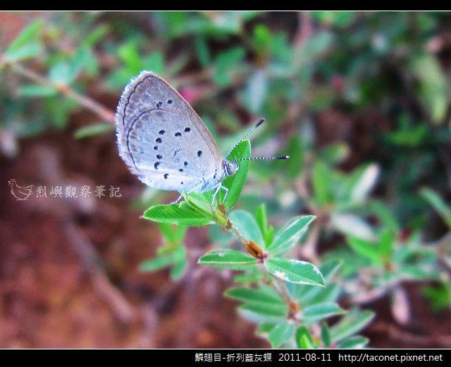 鱗翅目-折列藍灰蝶_09.jpg