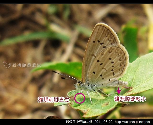鱗翅目-折列藍灰蝶_11.jpg