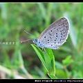 鱗翅目-折列藍灰蝶_10.jpg
