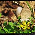 鱗翅目-折列藍灰蝶_13.jpg