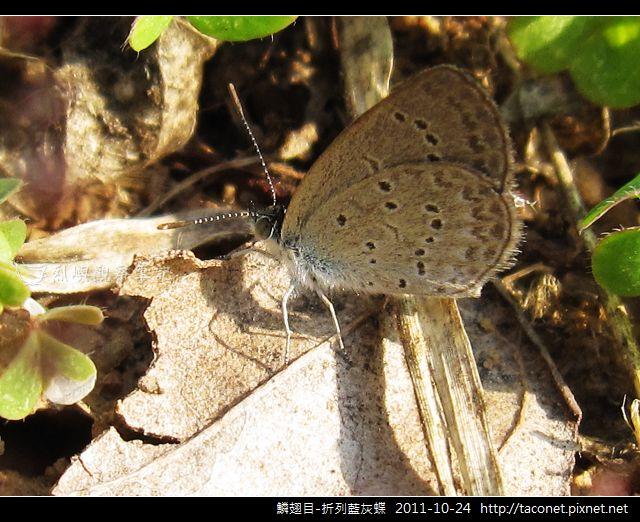 鱗翅目-折列藍灰蝶_14.jpg