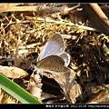 鱗翅目-折列藍灰蝶_15.jpg