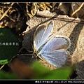 鱗翅目-折列藍灰蝶_16.jpg