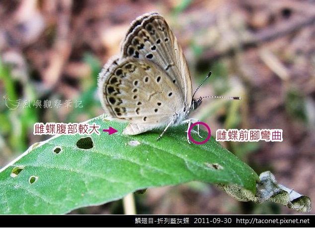 折烈藍灰蝶.jpg