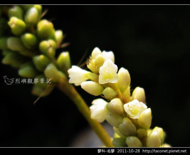 蓼科-毛蓼_04.jpg