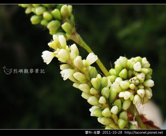 蓼科-毛蓼_05.jpg