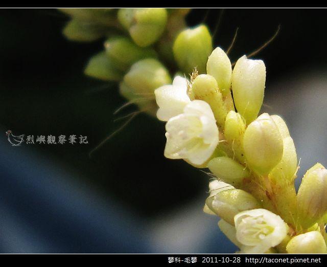 蓼科-毛蓼_06.jpg