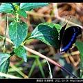 鱗翅目-琉璃蛺蝶_01.jpg