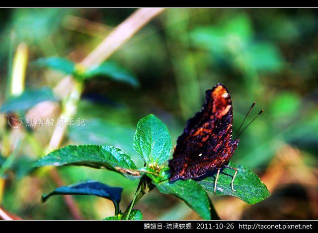 鱗翅目-琉璃蛺蝶_02.jpg