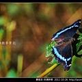 鱗翅目-琉璃蛺蝶_06.jpg