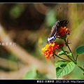 鱗翅目-琉璃蛺蝶_07.jpg
