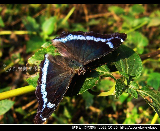 鱗翅目-琉璃蛺蝶_09.jpg