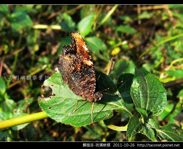 鱗翅目-琉璃蛺蝶_10.jpg