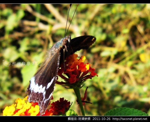 鱗翅目-琉璃蛺蝶_12.jpg