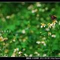 鱗翅目-大紅蛺蝶_01.jpg