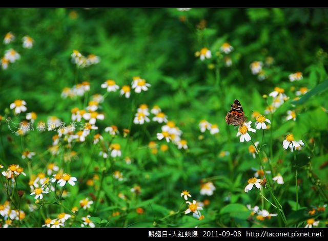 鱗翅目-大紅蛺蝶_02.jpg