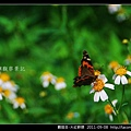 鱗翅目-大紅蛺蝶_03.jpg