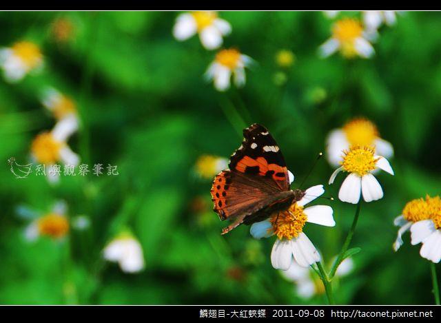 鱗翅目-大紅蛺蝶_04.jpg