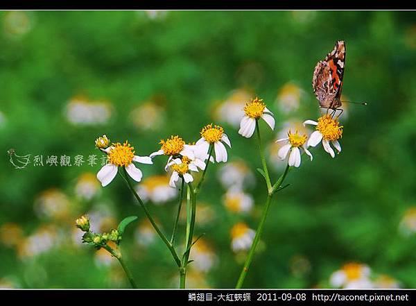 鱗翅目-大紅蛺蝶_06.jpg
