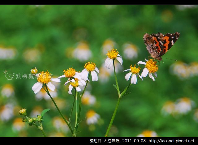 鱗翅目-大紅蛺蝶_07.jpg