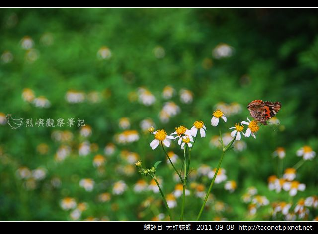 鱗翅目-大紅蛺蝶_08.jpg