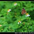 鱗翅目-大紅蛺蝶_09.jpg