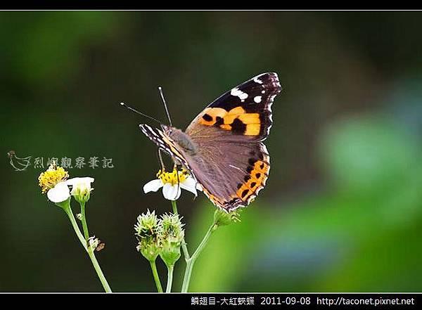 鱗翅目-大紅蛺蝶_11.jpg
