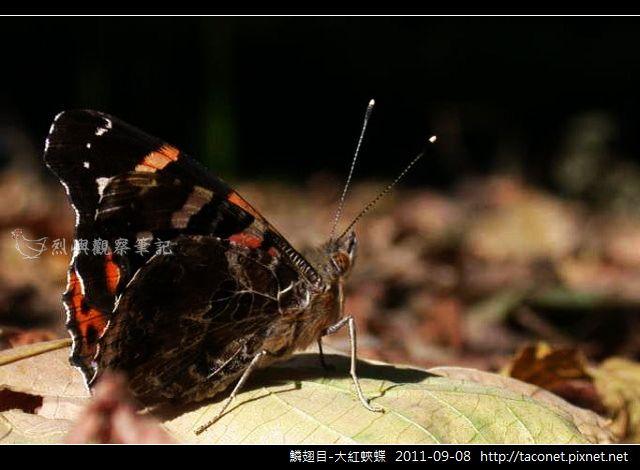 鱗翅目-大紅蛺蝶_12.jpg
