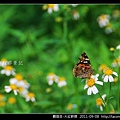 鱗翅目-大紅蛺蝶_13.jpg