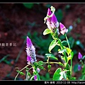 莧科-青葙_01.jpg
