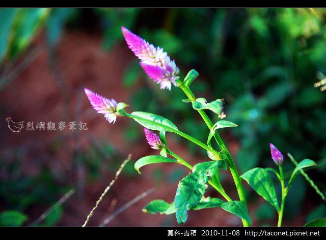 莧科-青葙_03.jpg
