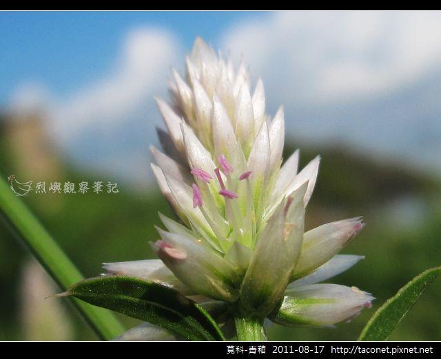 莧科-青葙_09.jpg