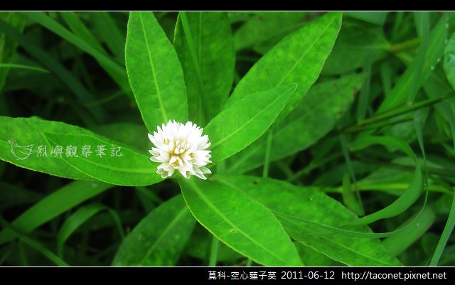 莧科-空心蓮子菜_09.jpg