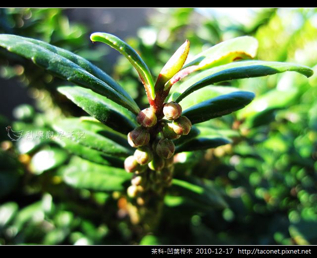 茶科-凹葉柃木_05.jpg
