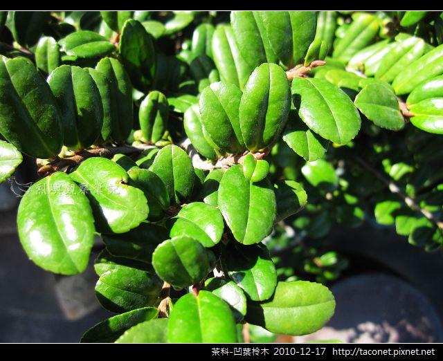 茶科-凹葉柃木_07.jpg