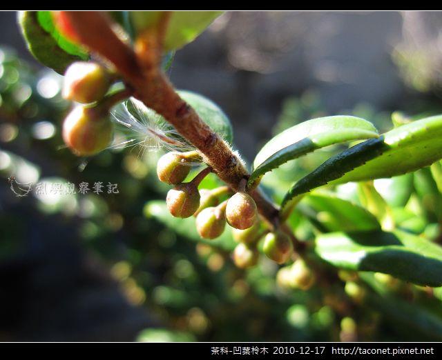 茶科-凹葉柃木_08.jpg