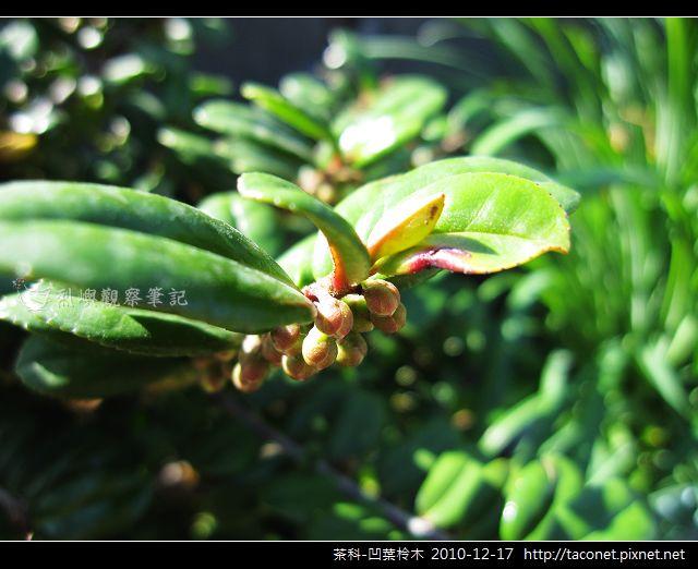 茶科-凹葉柃木_09.jpg