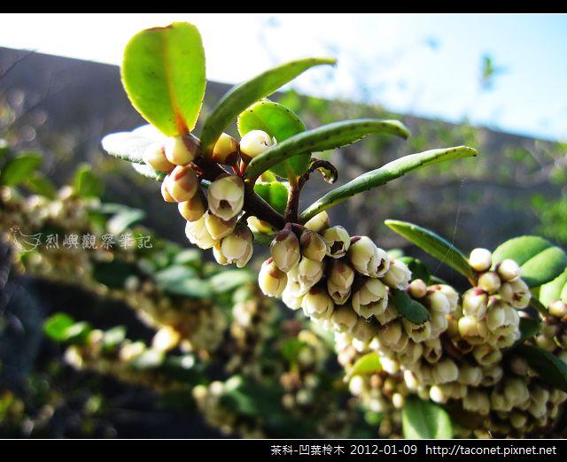 茶科-凹葉柃木_12.jpg