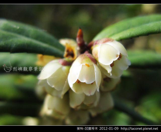 茶科-凹葉柃木_17.jpg