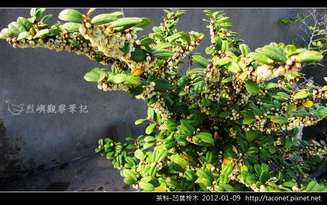 茶科-凹葉柃木_18.jpg
