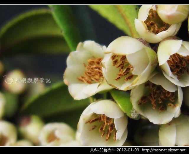 茶科-凹葉柃木_20.jpg