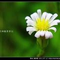 菊科-掃帚菊_01.jpg