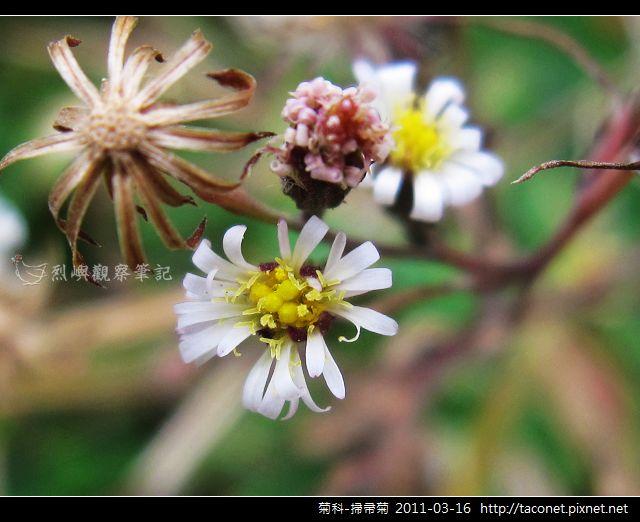 菊科-掃帚菊_08.jpg