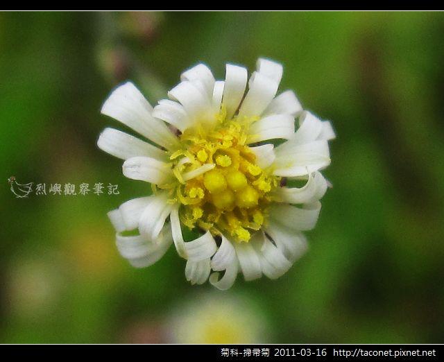 菊科-掃帚菊_13.jpg