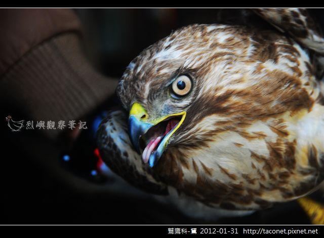 鷲鷹科-鵟_03.jpg