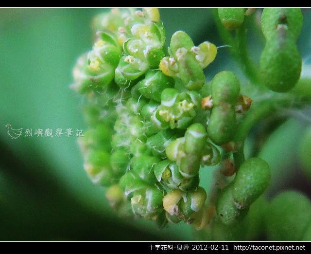 十字花科-臭薺_01.jpg