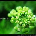 十字花科-臭薺_02.jpg
