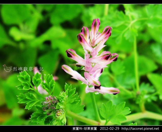 紫菫科-球果紫菫_09